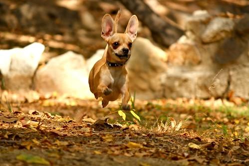 """Chugsy"" of Arizona - For Most Adorable Dog   by humanesocietyoftheunitedstates"