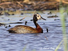 1.00211 Dendrocygne veuf / Dendrocygna viduata / White-faced Whistling-Duck by Laval Roy off until 07/08/2019