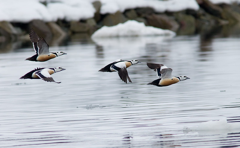 Steller's Eider in flight