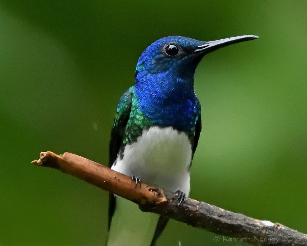 WHITE-NECKED JACOBIN 11