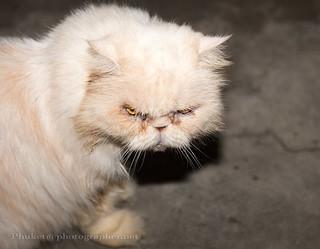 Cat of War | by Phuketian.S