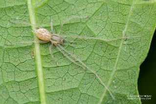 Sac spider (Cheiracanthium cf. leucophaeum) - DSC_6895 | by nickybay