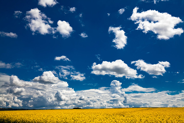 canola and clouds
