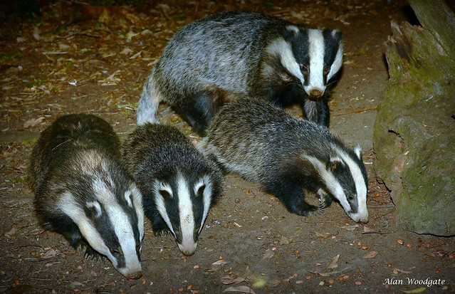 Badger family - July 2018 - Buckinghamshire