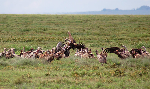 vultures-feeding | by quirkytravelguy