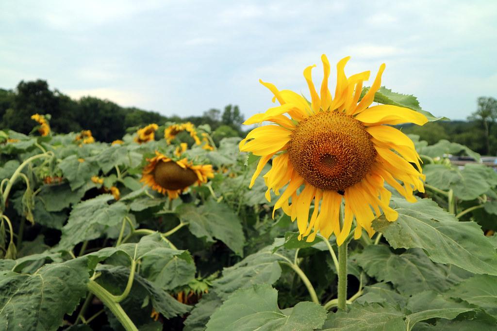 Sunflower Picking at Alstede Farm 2018-07-30