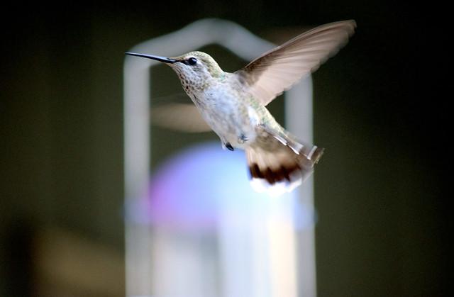 Anna's Hummingbird 496