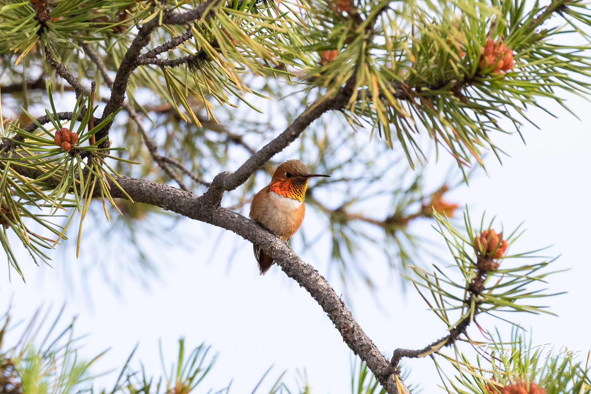 A Rufous Hummingbird hangs out in Arapaho National Forest, Colorado. (© Tony's Takes)