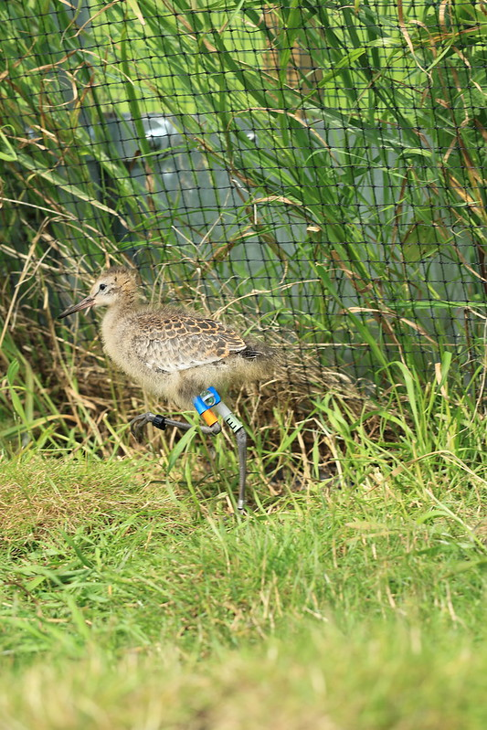 WE-GT-2018 Project Godwit chick BfO-WL(E)