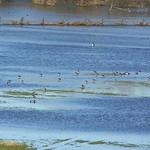 Kiebitze (Vanellus vanellus) am Rheinufer in der Walsumer Rheinaue