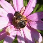 Mistbiene (European Hoverfly, Eristalis tenax), Weibchen