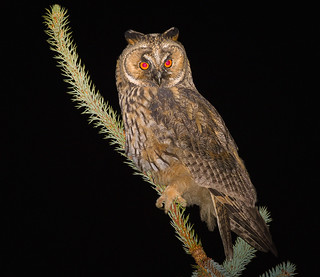 Long-eared owl | by hedera.baltica