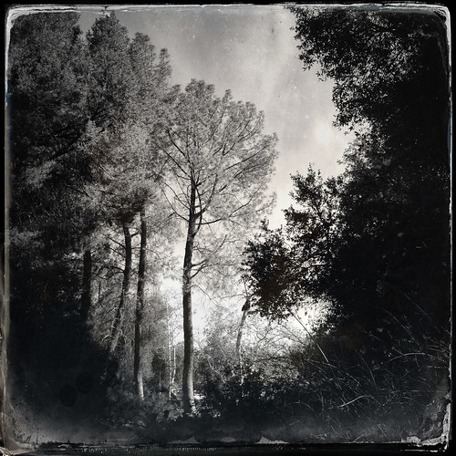 cameraphone california trees winter sky blackandwhite bw texture nature leaves forest landscape pod jane grove potd tintype distressed iphone photooftheday 2013 mobilephotography 22713 iphone365 iphoneography hipstamatic dtypeplate