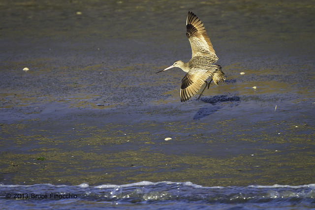 Marbled Godwit Banks Along A Wet and Muddy Shore