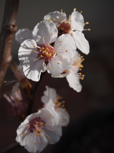 apricot blossoms - P3080274 | by T. Christensen