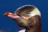 Yellow eyed penguin Megadyptes antipodes by Maureen Pierre