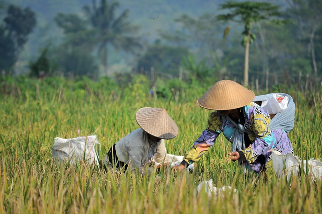 The Rice Harvest