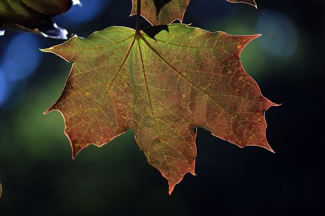 Blätter im Gegenlicht (04)