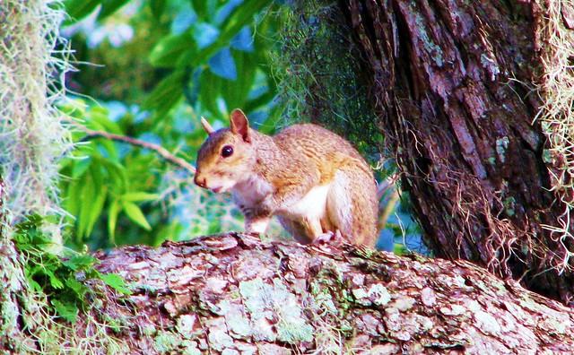 Sciurus carolinensis --  Eastern Grey Squirrel 8922