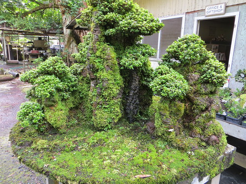trees plants hawaii bonsai azalea bigisland hilo kurtistown fukubonsaiculturalcenter