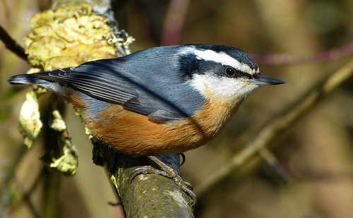 nuthatch sittacanadensis redbreasted canadensis redbreastednuthatch sitta