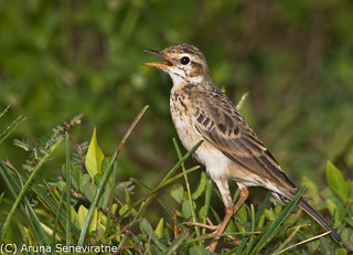 Paddyfield Pipit | by ArunaSene
