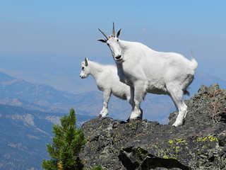 Mountain goats on Sepulcher Mountain | by YellowstoneNPS