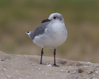Laughing Gull | by no ceiling