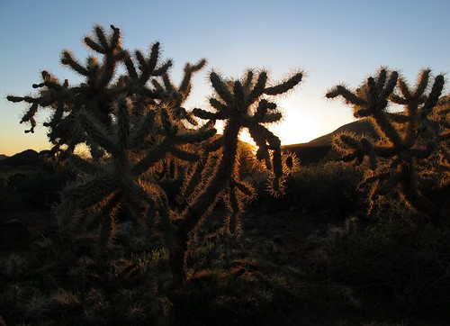 light sunset arizona cactus sunlight southwest nature silhouette ouch outdoors evening shadows desert sundown hiking sharp backlit exploration discovery prickly sonorandesert cavecreek cholla intothesun teddybearcholla chollacactus maricopacounty desertscape cylindropuntiabigelovii spurcrossranchconservationarea zoniedude1 canonpowershotg11 pronouncedchoyuh earthnaturelife chollasundown