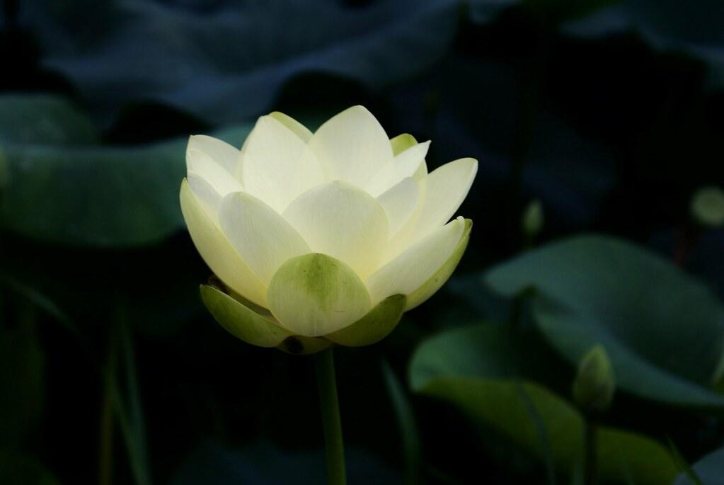 White Lotus | Lotus Info | Large | My YouTube Video | My ...