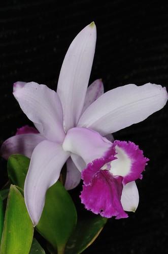 Cattleya intermedia var. orlata 'Rio'   by 澎湖小雲雀
