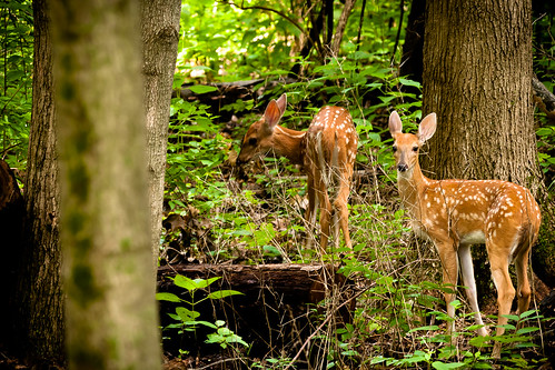 animals forest nikon places deer fawn d300 fotocompetitionbronze