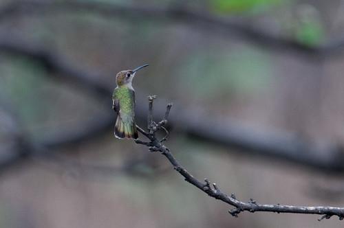 animalia animals birds hummingbirds leucippusbaeri trochilidae tumbeshummingbird vertebrates loja ecuador