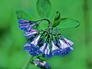 Virginia bluebells | by NatureServe