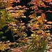 Flickr photo 'J20160817-0040—Acer circinatum—RPBG' by: John Rusk.