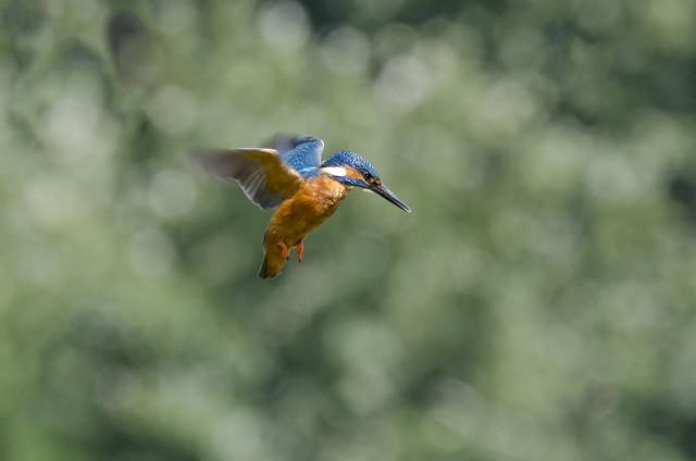 Male Kingfisher in flight (Alcedo atthis)