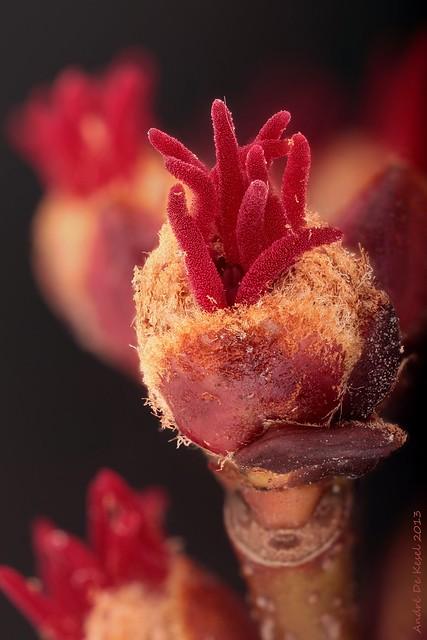 Acer saccharinum (Suikeresdoorn)