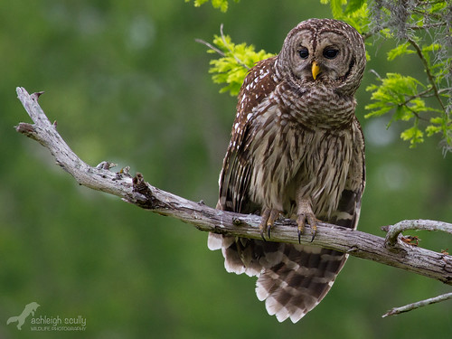 Barred Owl Perched 2