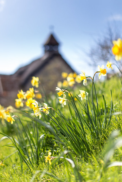Daffodils in Springtime at St Agnes Church, Freshwater Bay, Isle of Wight