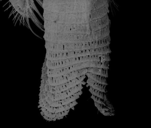 Pseudofoenus houstoni (Jennings & Austin 1994) glossa (2)