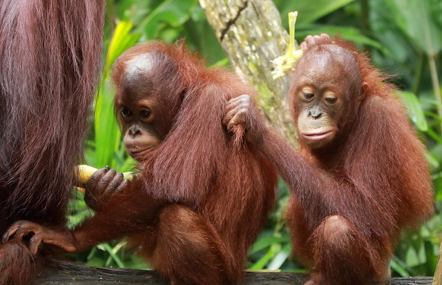 J77A4193 -- Two frustrated young Orang Utangs
