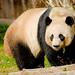 Panda Gigante - Photo (c) Josh More, algunos derechos reservados (CC BY-NC-ND)