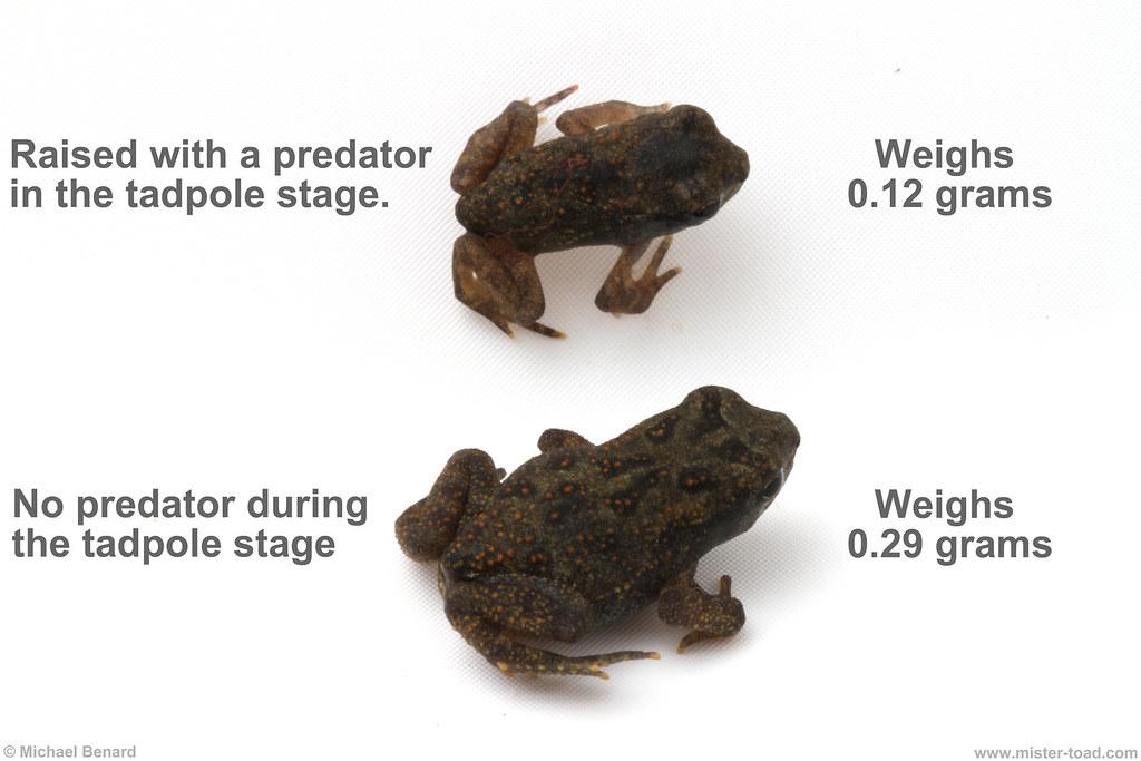 Tadpole to frogtoad metamorphosis, quantum mechanics, and psychological boundaries