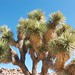 Joshua Tree - Photo (c) Laura Camp, some rights reserved (CC BY-NC)