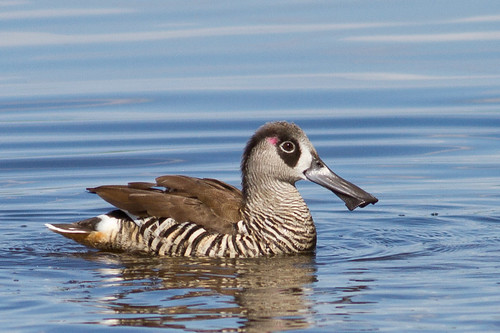 Pink-eared Duck | by petefeats