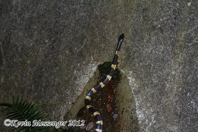 Bungarus multicinctus (Many-banded krait)