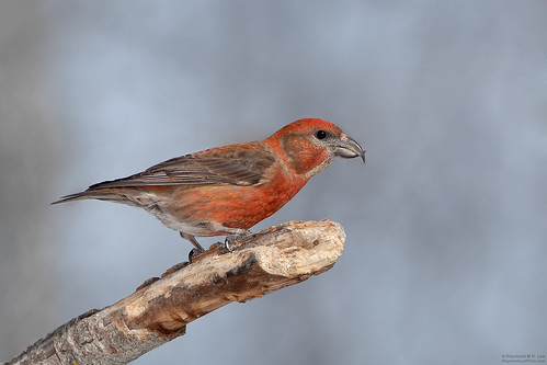 Red Crossbill | by Raymond Lee Photography