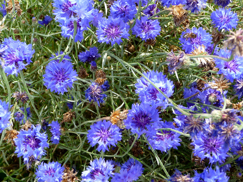 Cornflowers | Summer-Loving Annual Plants For A New Garden Every Year