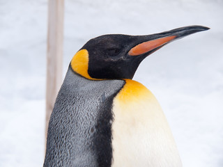 King penguin | by Yuxuan.fishy.Wang