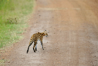 Serval cat | by videren